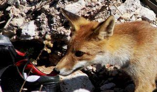 Fuchs mit Schuhtick klaut weiter (Foto)
