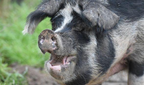 Für einen Bauern aus Mexiko endete einen Auseinandersetzung mit seinem Schwein tragisch (Symbobild). (Foto)