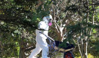 Fukushima im Frühjahrsputz: Reinigungstrupps säubern die Region von readioaktiven Erdschichten (Foto)