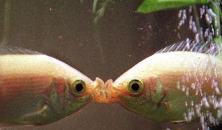 Futter für Fische genau dosieren (Foto)