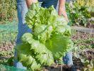Gartensalat darf im April ins Freiland (Foto)