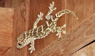 Gecko (Foto)