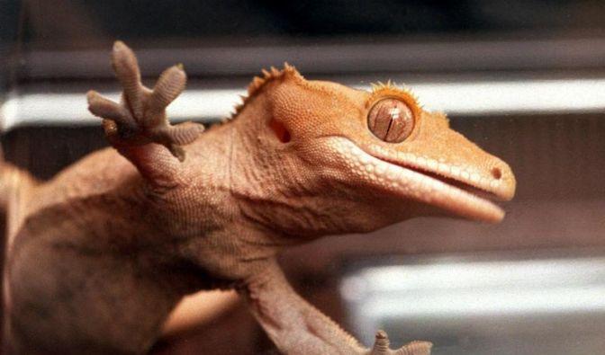 Geckos mögen keine nassen Füße (Foto)