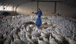 Gefluegelwirtschaft sieht bei Studie zu Massentierhaltung Fehler (Foto)