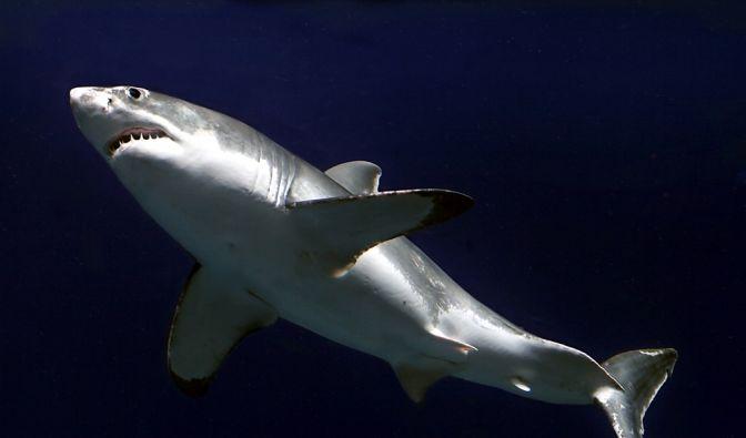 Gefürchteter Jäger: Der Weiße Hai. (Foto)