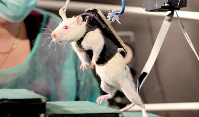 Gelähmte Ratten bewegen Beine nach Therapie bewusst wieder (Foto)
