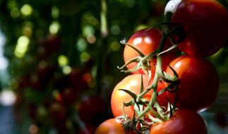 Gemüsebeet auf dem Balkon: Tomaten gut für Anfänger (Foto)