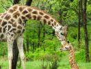Giraffen, Glücksgene und Lamarck. (Foto)