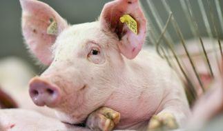 Glück gehabt: In Religionen, wie dem Judentum oder dem Islam, landen Schweine definitiv nicht auf dem Teller. (Foto)