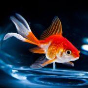 Goldfische sind zäh.