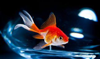 Goldfische sind zäh. (Foto)
