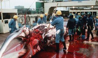 Grönland darf künftig Buckelwale jagen (Foto)