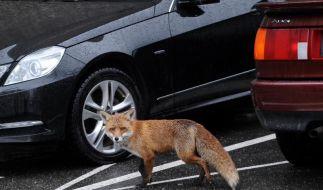 Größe von Fuchsrevieren hängt vom Geruch ab (Foto)