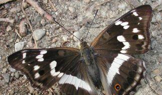 Großer Schillerfalter ist Schmetterling des Jahres 2011 (Foto)
