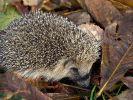 Gut für Tiere: Laubhaufen im Garten (Foto)