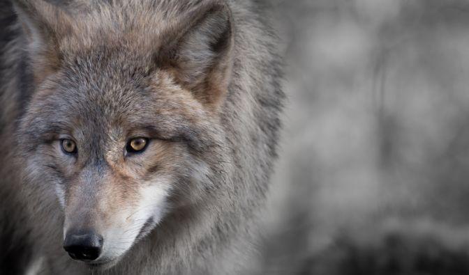 wölfe in niedersachsen news