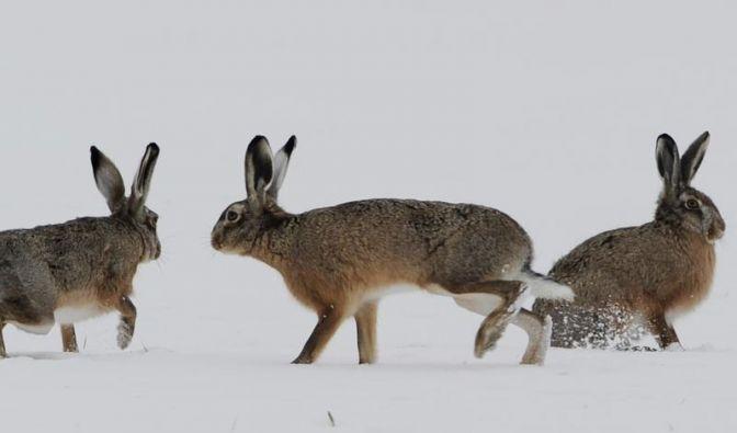 Harte Winter machen Feldhasen zu schaffen (Foto)