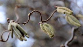 Haselnuss und Erle: Pollenflug beginnt (Foto)