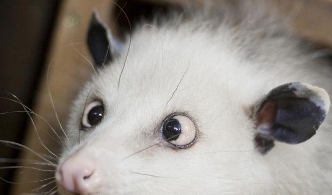 Heidis schielende Opossum-Schwester ist tot (Foto)