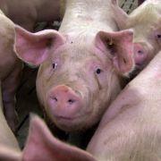Hepatitis E-Viren im Schweinefleisch können zum Tod führen. (Foto)