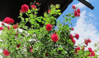 Himmelsstürmer bändigen: Rankhilfen für Kletterpflanzen (Foto)
