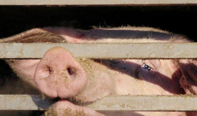 Höfe mit auffälligem Antibiotika-Einsatz im Visier (Foto)