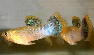 Homosexualität unter Wasser: Männliche Atlantikkärpflinge sind mit ihrer gleichgeschlechtlichen Aktivität richtig sexy - zumindest für ihre weiblichen Artgenossen. (Foto)
