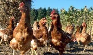 Hühner Eier Selbstversorgung (Foto)