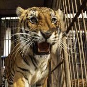 Im Kölner Zoo hat ein Tiger seine Pflegerin getötet.