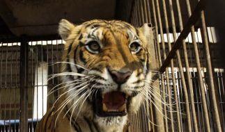 Im Kölner Zoo hat ein Tiger seine Pflegerin getötet. (Foto)