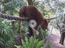 Ganz schön durstig: Baumkänguru klaut Wasserschlauch