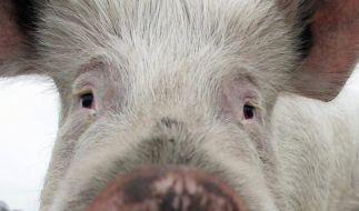 In den USA explodieren Schweineställe - durch Schaum. (Foto)