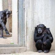 In Hannover gönnten sich fünf Affen einen Ausflug durch den eigenen Zoo.