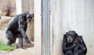 In Hannover gönnten sich fünf Affen einen Ausflug durch den eigenen Zoo. (Foto)