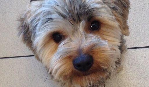 In Hoyerswerda wurde ein Yorkshire-Terrier von einer Schnapsflasche erschlagen. (Foto)