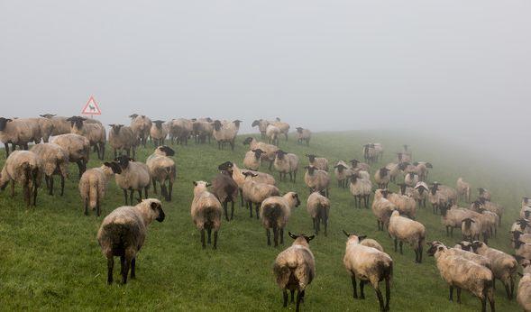 In Island wurde in einer Schafherde ein einhornähnliches Wesen entdeckt. (Symbolbild) (Foto)