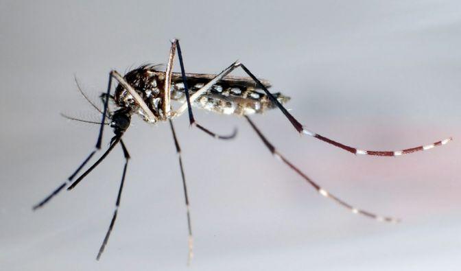In Lateinamerika und großen Teilen Europas breitet sich derzeit der gefährliche Zika-Virus, für dessen Übertragung Stechmücken verantwortlich gemacht werden, aus. (Foto)