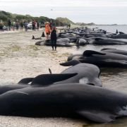 Hunderte Wale verendet! Was ist der Grund für das mysteriöses Sterben? (Foto)