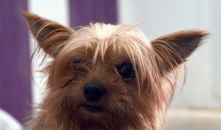 In Österreich wurde ein Yorkshire Terrier in einem Wäschetrockner zu Tode gequält. (Foto)