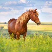 Brutaler Tierquäler schneidet Pferd in Vagina (Foto)