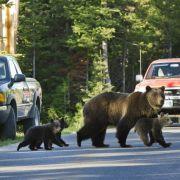 In den USA und Kanada dagegen gehören Grizzlys dagegen zum Alltag. Immer wieder kommt es deshalb auch zu tödlichen Angriffen der bis zu 600 Kilo schweren Bären auf Menschen.