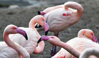 In einem tschechischen Zoo haben kleine Kinder Flamingos getötet. (Foto)