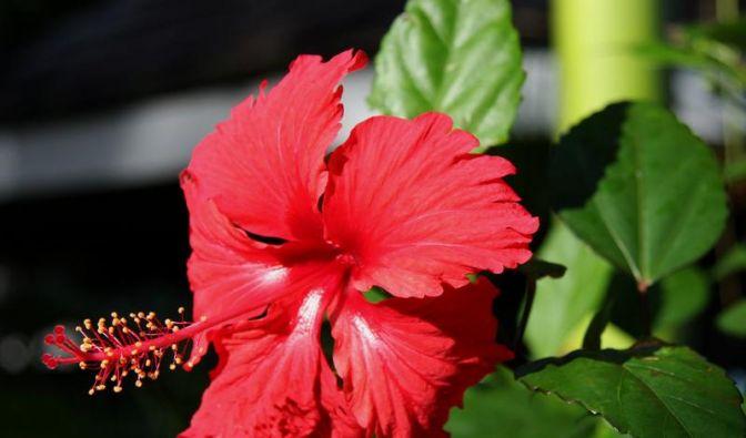 Inbegriff einer tropischen Blüte: Der Hibiskus (Foto)