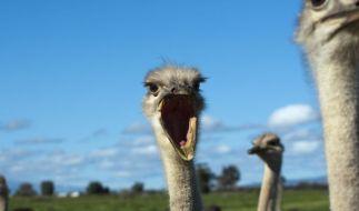Ist fast drei Sekunden schneller als Usain Bolt: der Vogel Strauß. (Foto)