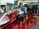 Japan bricht Walfangsaison ab (Foto)