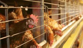 Käfige für Legehennen sollen nur noch mit einem «Tierschutz-TÜV» zugelassen werden. (Foto)