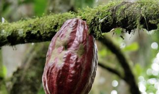 Kakao schützt Gefäße (Foto)