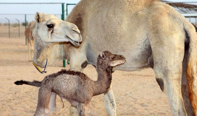 Kamel (Foto)
