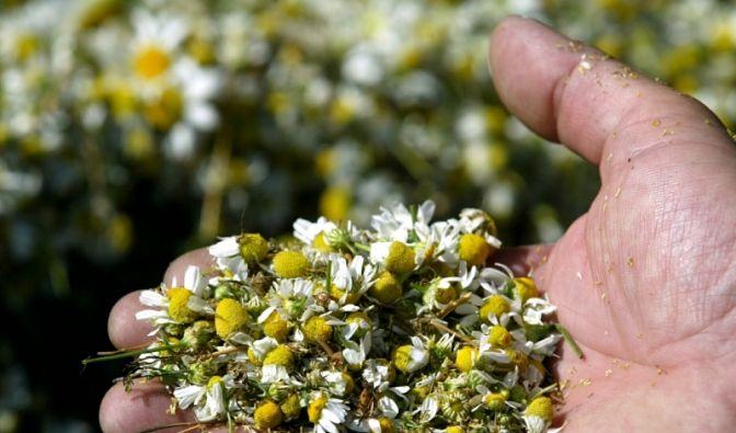 Kamille trägt dazu bei, dass Pickel schneller heilen.  (Foto)