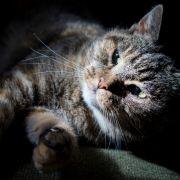Katzen verbreiten die Erreger der Toxoplasmose. (Foto)